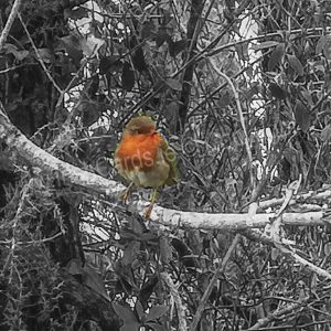 Robin_on-branch