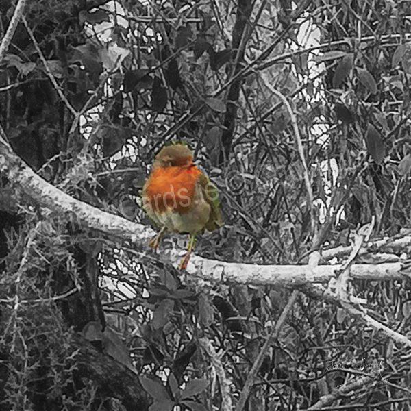 Robin_on-branch